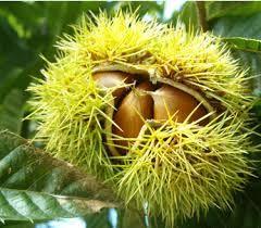 밤나무 열매에 대한 이미지 검색결과