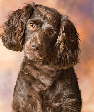 Boykin Spaniel Breed Information. Photo:Robin Burkette. Breed Group: Sporting. Height: 14 to 18 inches at the shoulder. Weight: 25 to 40 pounds  Life Span: 10 to 14 years. This medium-size sporting breed is a great retriever, loves water, and has a friendly nature. He's not much of a watchdog, but if you're looking for a pal to take hunting, boating, or hiking, he's a great choice. His curly coat needs grooming two to three times a week.
