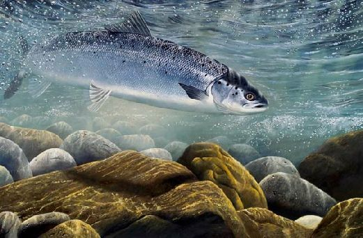 Fresh off the Tide by David Miller Limited edition salmon print £60.00