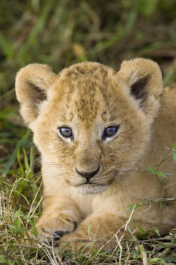 Ideas about baby lions on pinterest lion simba lion and lion cub