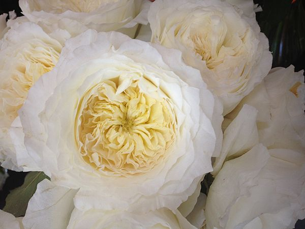 patience david austin garden rose creamy white