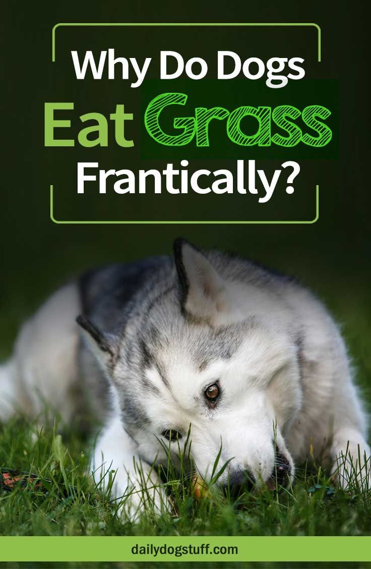 Why Do Dogs Eat Grass Frantically In 2020 With Images Dogs Big Dog Little Dog Dogs Eating Grass