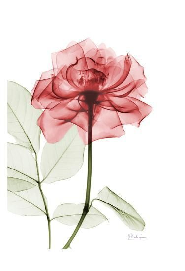 X Ray Of Rose Watercolor Amazing Tattoo For Me Yeti: Rosey Red Trance Art Print By Albert Koetsier In 2019