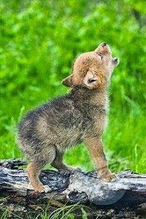 Baby Wolf Howl