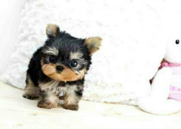 This sweet puppy looks like an Ewok | Teacup Yorkies ...