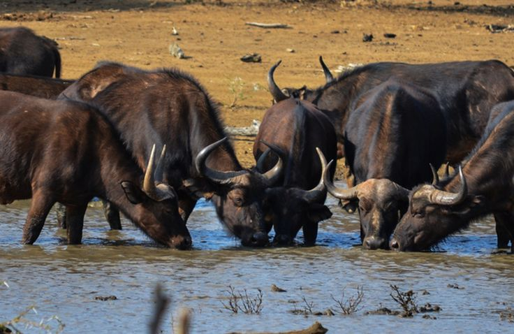 Buffalo herd by the watering hole