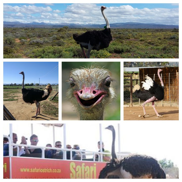 #Tractor #Tour fun at #Safari #Ostrich #Farm. You can get really close to the #ostrich for beautiful photos.