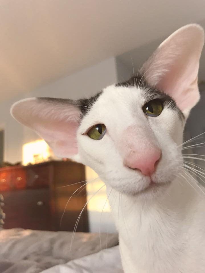 слову картинки кошек грузин и его грузинки крупное
