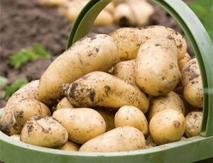 Sowing & Growing Potatoes. Potatoes are one of the most common vegetables to be found growing, and are one of the most valuable vegetables to have in the garden as they form part of most of our meals.