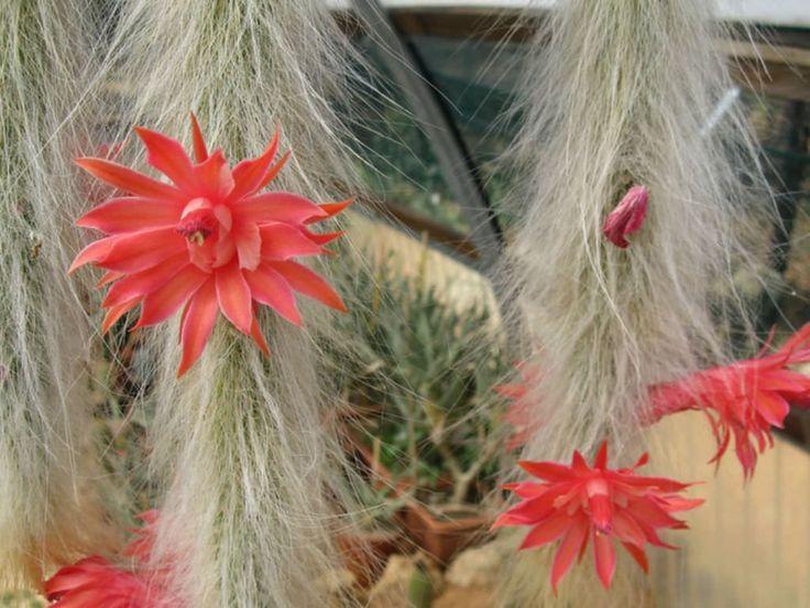 Cleistocactus winteri subsp. colademononis
