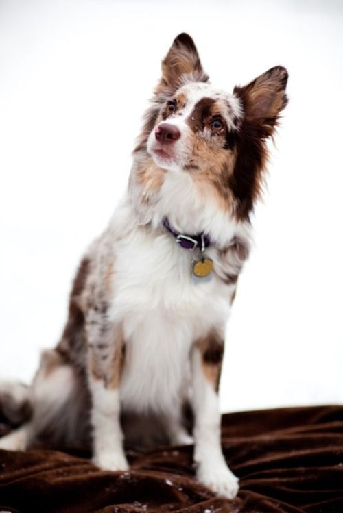 Medium coat, red merle Koolie is an Australian dog breed. The Koolie is a working or herding dog which has existed in Australia since the early 19th century when it was bred from imported British working dogs.
