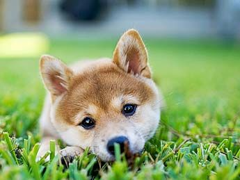 This looks so much like my Tanuki, when she was a pup.... I will always live with (notice I didn't say own) a Shiba Inu!
