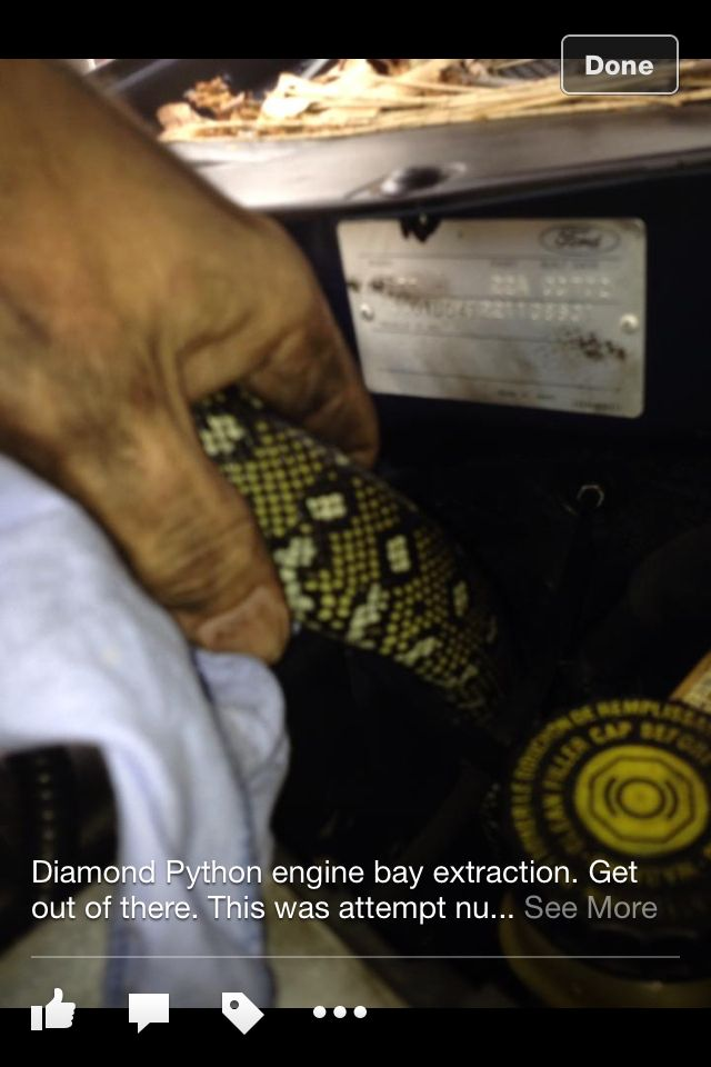 This was my 1st snake rescue. A Diamond Python Snake extraction / rescue from a car engine bay @ Combined Towing Base. Lane Cove West 24/12/2013.