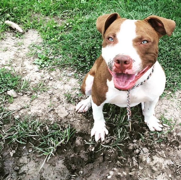 Excited for playtime at Coronado Dog Park! - Albuquerque, NM - Angus Off-Leash #dogs #puppies #cutedogs #dogparks #bigdogs #pitbull #albuquerque #newmexico #angusoffleash