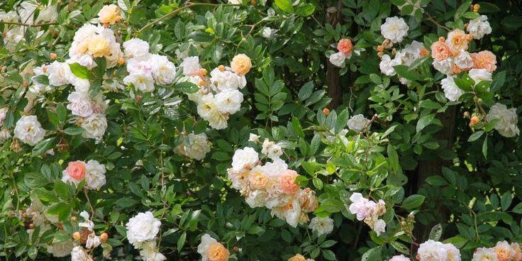 KLATREROSER - TOPPEN AF POPPEN- climbing roses