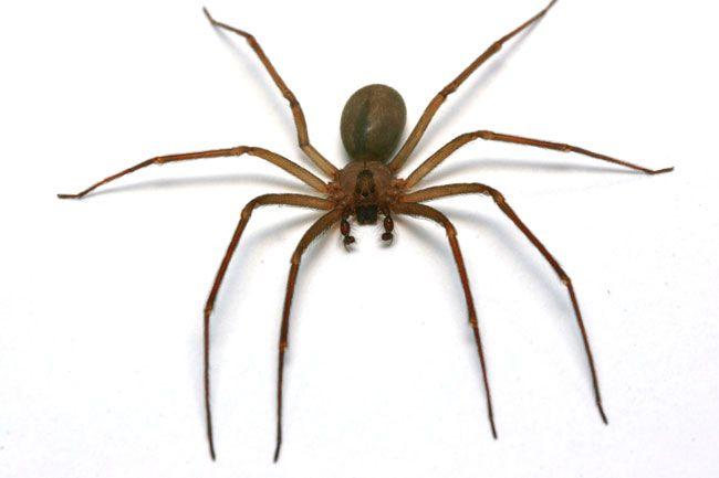 ragno bruno eremita