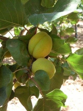 apricot apricots tree