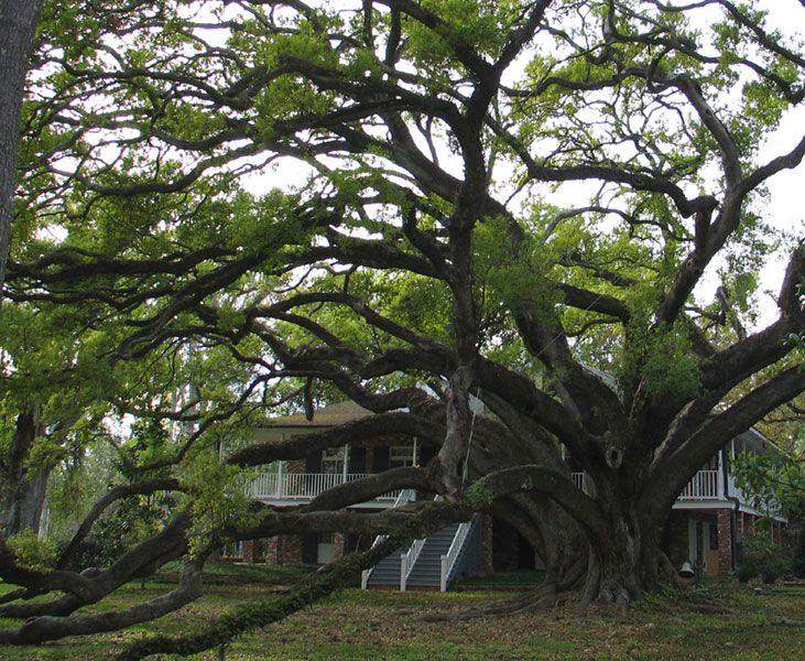 Seven Sisters Oak, Mandeville, LA   (largest certified oak tree)