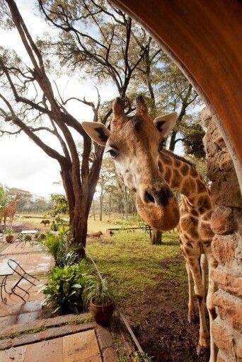 Giraffe peaking around