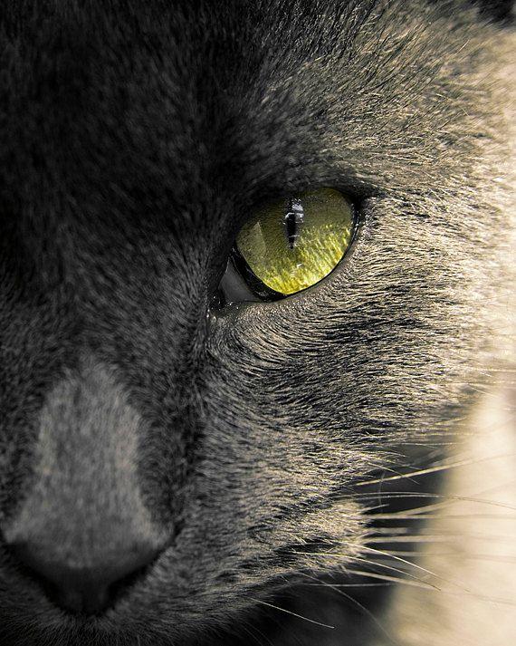 Russian Blue Cat | Awwww | Pinterest | Russian Blue ... Russian Blue With Green Eyes