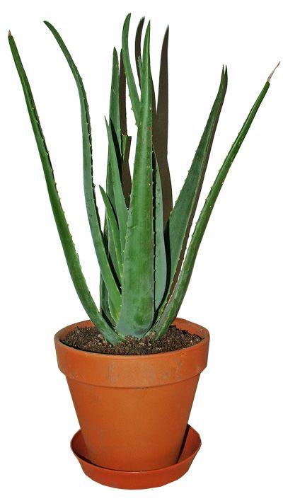 Aloe - Come scegliere pianta da bagno alta luce e temperatura