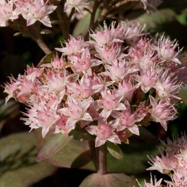 Sedum Matrona Orpin Avec Images Vivaces Fleurs Petite Fleur