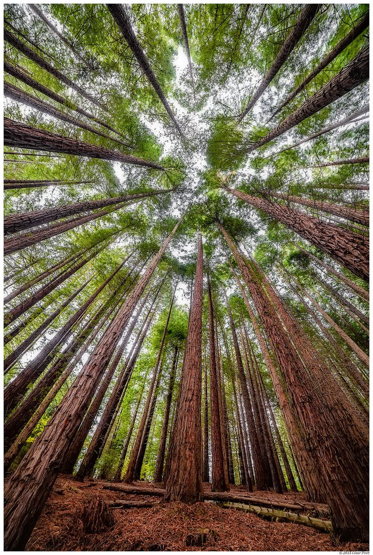 A planted Sequoia Forest in Catalonia, Spain by Cesar Piret. [The climate is similar to the part of California that is their  native home.]