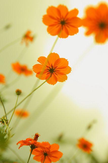 Orange flowers by CW Ye, via Flickr
