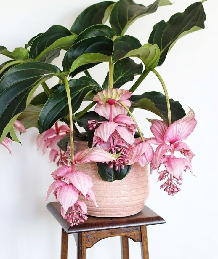 Medinilla Magnifica Are There Lovers Flowers