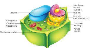 Las células vegetales. Una célula vegetal es un tipo de célula eucariota de la que se componen muchos tejidos de los vegetales. A menudo, es descrita con los rasgos de una célula del parénquima asimilador de una planta vascular. Pero sus características no pueden generalizarse al resto de las células de una planta, meristemáticas o adultas, y menos aún a las de los muy diversos organismos imprecisamente llamados vegetales.