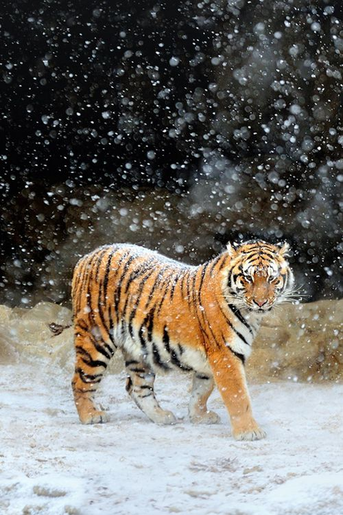 Siberian Tigers  by Ryu Jong soung                                                                                                                                                     More