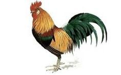 How to Draw a Rooster - Bing images