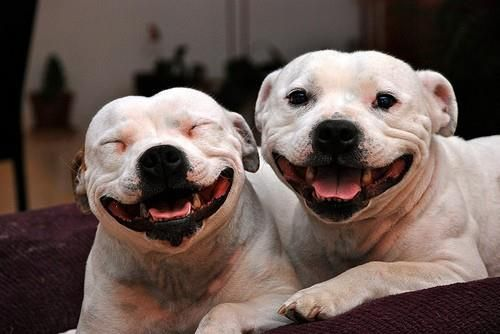 Smiles! Staffordshire bull terriers are some of the most loving dogs :-)