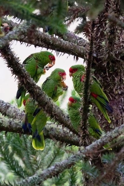 Foto papagaio-charão (Amazona pretrei) por Silvana Licco | Wiki Aves - A Enciclopédia das Aves do Brasil