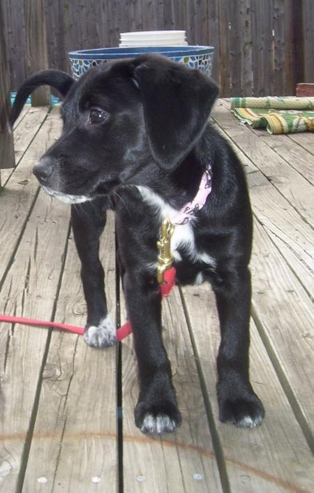 black lab beagle mix | Johnnie the Lab/ Beagle Mix | Puppies | Daily Puppy