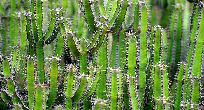 تفسير حلم رؤية الصبار في المنام الصبار الأخضر رؤية نبات الصبار التين الشوكي شوك الصبار معنى الإمساك بالصبار زرع نبتة الصبار Cactus Plants Cactus Plants