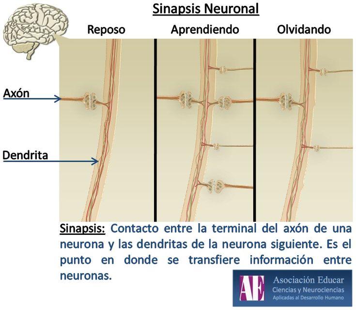 Infografía Neurociencias: Sinapsis neuronal. | Asociación Educar