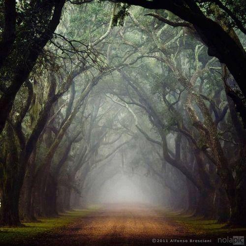 tassels:  Old Oak Trees, Louisiana                                                                                                                                                                                 Plus
