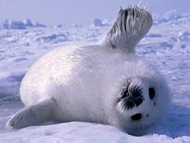 Baby Harp Seal says HI..