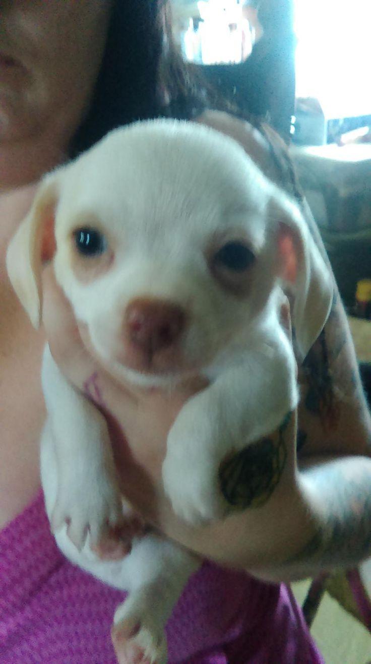 Chihuahua puppies 100 chihuahua puppies puppies chihuahua