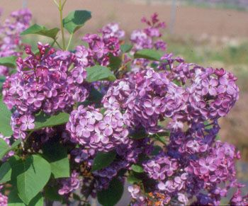 great prices for berry bushes and flowering bushes, lilacs