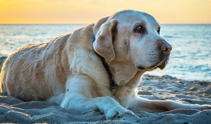 Common Cancers In Dogs – Signs, Symptoms & Treatment - The Labrador Site