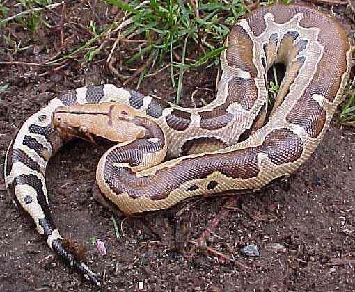 Dangerous Snakes: python snakes