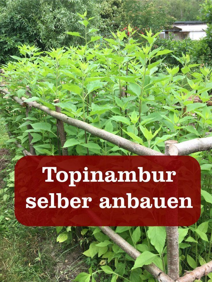 Topinambur Gartenbob De Der Garten Ratgeber In 2020 Topinambur Pflanzen Topinambur Salat Pflanzen