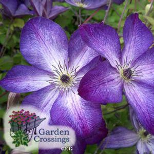 Good You Have Come To The Right Online Supplier Of Clematis Vines! Garden  Crossings Has Over
