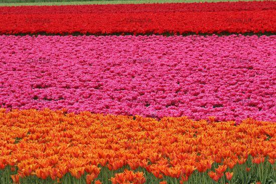Tulpenfeld bei Wassenaar