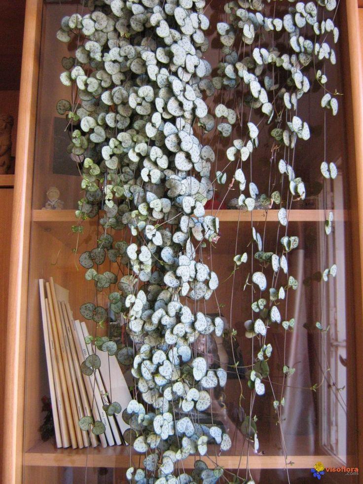 une-autre-espece-de-ceropegia-woodii-nom-commun-chaine-des-coeurs-visoflora-13194.jpg (768×1024)