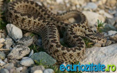 Vipera de stepa, speciile de serpi veninosi din Romania