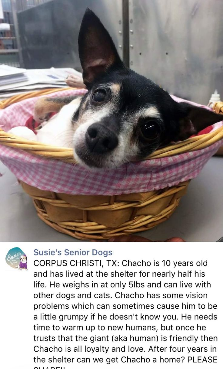 1/9/17 CHACHO NEEDS US TO SPEAK OUT FOR HIM!! HE REALLY DESERVES A LOVING HOME OF HIS OWN!! PLEASE SHARE THIS CUTIE❤️ /ij https://m.facebook.com/susiesseniordogs/photos/a.272358689587441.1073741828.272349689588341/763480897141882/?type=3&source=48&__tn__=E