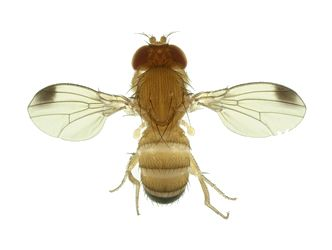 Male Drosophila suzukii